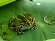 Ein Frosch auf dem Blatt der Seerose Lizenzfreies Stockfoto