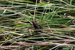 Ein Frosch auf Gras lizenzfreie stockfotos