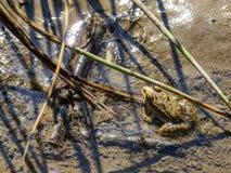 Ein Frosch, der im Schlamm mit beißenden Zuckmücken auf ihm bewegungslos steht lizenzfreies stockbild