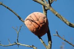 Ein Fußball im Baum Stockbild