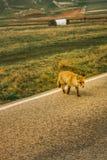 Ein Fuchs, der eine Straße kreuzt Lizenzfreie Stockbilder