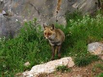 Ein Fuchs im wilden Stockbild