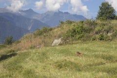 Ein Fuchs läuft in eine grüne Wiese stockbilder