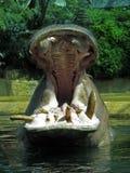 Ein gähnender Hippopotamus Stockfotografie