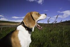 Ein gähnender Hund Lizenzfreies Stockbild
