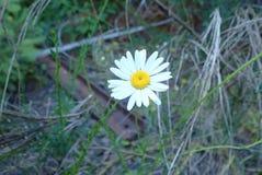 Ein Gänseblümchen Stockfoto