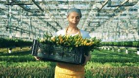 Ein Gärtner hält einen Korb mit gelben Tulpen und Wegen innerhalb eines großen Glashauses stock video