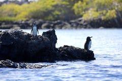 Ein Galapagos-Pinguin Stockfotografie