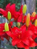 Ein Garten kommt zum Leben mit der asiatischen Lilie Stockfotografie