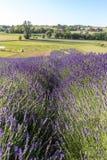 Ein Garten voll des Lavendels in OstrÃ-³ w 40 Kilometer von Krakau Der Geruch und die Farbe des Lavendels erlaubt Besuchern, wie  stockfotos