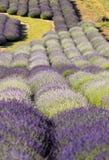 Ein Garten voll des Lavendels in OstrÃ-³ w 40 Kilometer von Krakau Der Geruch und die Farbe des Lavendels erlaubt Besuchern, wie  lizenzfreie stockfotografie