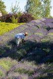 Ein ` Garten voll von Lavendel ` stockfotografie