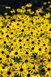 Ein Garten von gelben Gänseblümchen Stockbild