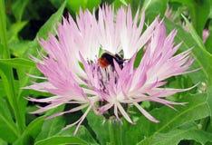 Ein Gast im Blumen eine Hummel Lizenzfreies Stockbild