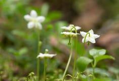 Ein-geblüht wintergreen, Moneses uniflora lizenzfreies stockbild