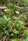 Ein-geblüht wintergreen, Moneses uniflora lizenzfreies stockfoto