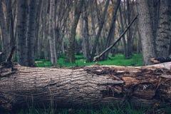 Ein gebrochener Stamm mitten in dem Wald lizenzfreie stockfotografie