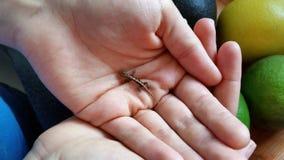 Ein Gecko in der Hand Stockbilder
