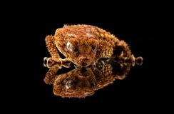 Ein Gecko und seine Reflexion stockfoto
