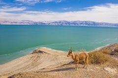 Ein Gedi是一片绿洲在沙漠和绿色伊甸园在原野 免版税库存图片