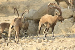 Ein Gedi野生高地山羊在犹太,圣地沙漠  库存图片
