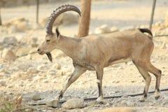 Ein Gedi野生高地山羊在犹太,圣地沙漠  免版税库存图片