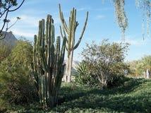 Ein Gedi kaktus 2010 Royaltyfri Fotografi