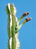 Ein Gedi San Pedro Cactus germoglia 2010 Fotografie Stock Libere da Diritti