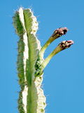 Ein Gedi San Pedro kaktus pączkuje 2010 Zdjęcia Royalty Free