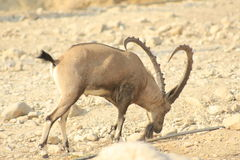 Ein Gedi wild Ibex male in the Desert of Judea, Holy Land stock images