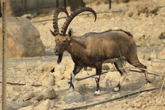 Ein Gedi wild Ibex male in the Desert of Judea, Holy Land Stock Photos