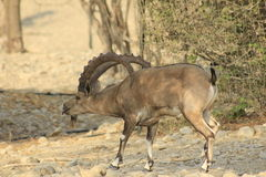Ein Gedi wild Ibex male in the Desert of Judea, Holy Land royalty free stock photos