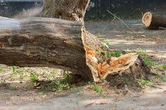 Ein gefällter Baum, ein Stumpf, ein gefallener Baumstamm, grüne Plantagen ein Bild, ein Foto, ein Baumast Stockfoto