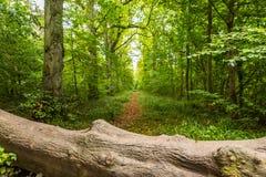 Ein gefallener Baum auf dem Fußweg im englischen Wald Lizenzfreie Stockfotografie
