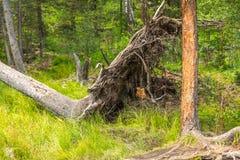 Ein gefallener Baum in den Altaian-Sümpfen Lizenzfreie Stockbilder