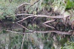 Ein gefallener Stamm in Hillsborough-Fluss, der perfekte Reflexion bildet Stockfotografie
