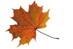ein gefallenes Ahornblatt Stockfoto