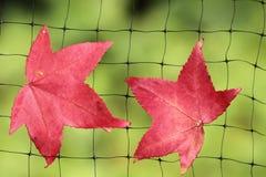 Ein gefallenes Herbstblatt fing auf einem Drahtnetz Stockbilder