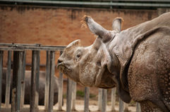 Ein-gehörntes Nashorn Stockfotografie