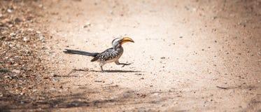 Ein gehender südlicher Gelb-berechneter Hornbill lizenzfreie stockfotografie