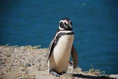 Ein gehender und ein Sonnenbad nehmender Magellan-Pinguin stockfotografie