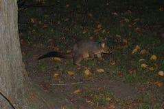 Ein gehendes Opossum stockbild