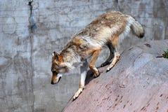 Ein gehendes Profilporträt des grauen Wolfs Stockfotos