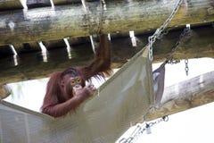 Ein gekühlter heraus Orang-Utan Lizenzfreie Stockbilder