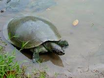 Ein Gelb-beschmutzte der Amazonas-Schildkröte Podocnemis-unifilis, die auf einem LOGON der peruanische Amazonas sich aalen stockfotografie