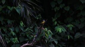 Ein Gelb, schwarzes, weißes großes kiskadee - Pitangus-sulphuratus, üppiger Hintergrund im tropischen Regenwald lizenzfreies stockbild