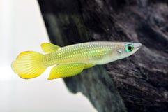 Ein gelber Killi-Fisch Lizenzfreie Stockbilder