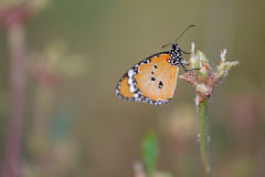 Schmetterling Lizenzfreie Stockbilder