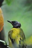 Ein gelber Vogel Lizenzfreie Stockbilder