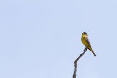 Ein gelber Vogel hockte auf einer Niederlassung singend gegen klaren blauen Himmel Stockbilder